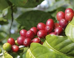 Coffee cherries ready to be picked